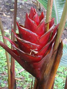 Heliconia 2_opt.jpg